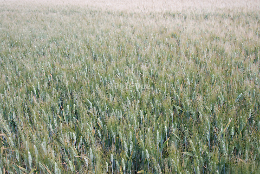 wheat field in late spring France Languedoc