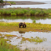 USA, Alaska, Katmai. Grizzlies in the Katmai Wilderness