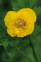 Meconopsis cambrica 'Flore Pleno' - Double Welsh poppy