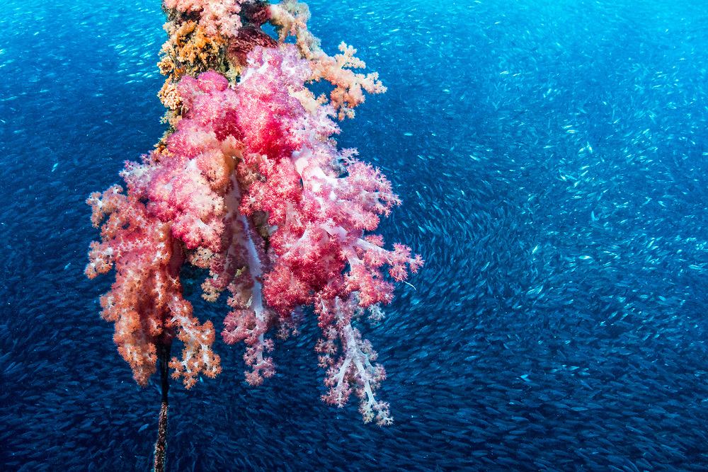 Soft coral growing on a mooring line with sardines (Clupeidae) in the background just off shore Moalboal, Philippines.