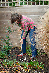 Planting a bare root rose - digging a hole with a spade