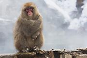 A snow monkey (Macaca fuscata) sitting on edge of hotspring , Jigokudani, Yamanouchi, Japan