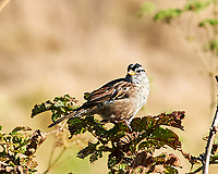 White-crowned Sparrow (Zonotrichia leucophrys). Point Reyes Lighthouse, California. Image taken with a Nikon D3s camera and 180 mm f/2.8 lens.