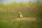 Black-tailed prairie dog on the Great Plains of Montana at American Prairie Reserve. South of Malta in Phillips County, Montana.