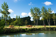 Herd of Maraichine cattle by Marais Poitrevin canal and marshland region a Grand Site de France