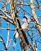 Blue Jay (Cyanocitta cristata). Image taken with a Nikon N1V3 camera and 70-300 mm VR lens.