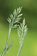 stiff saltmarsh grass<br /> Puccinellia rupestris