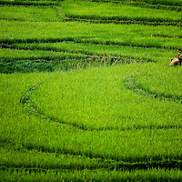 Farmer in rice paddy, Luang Phrabang, Laos
