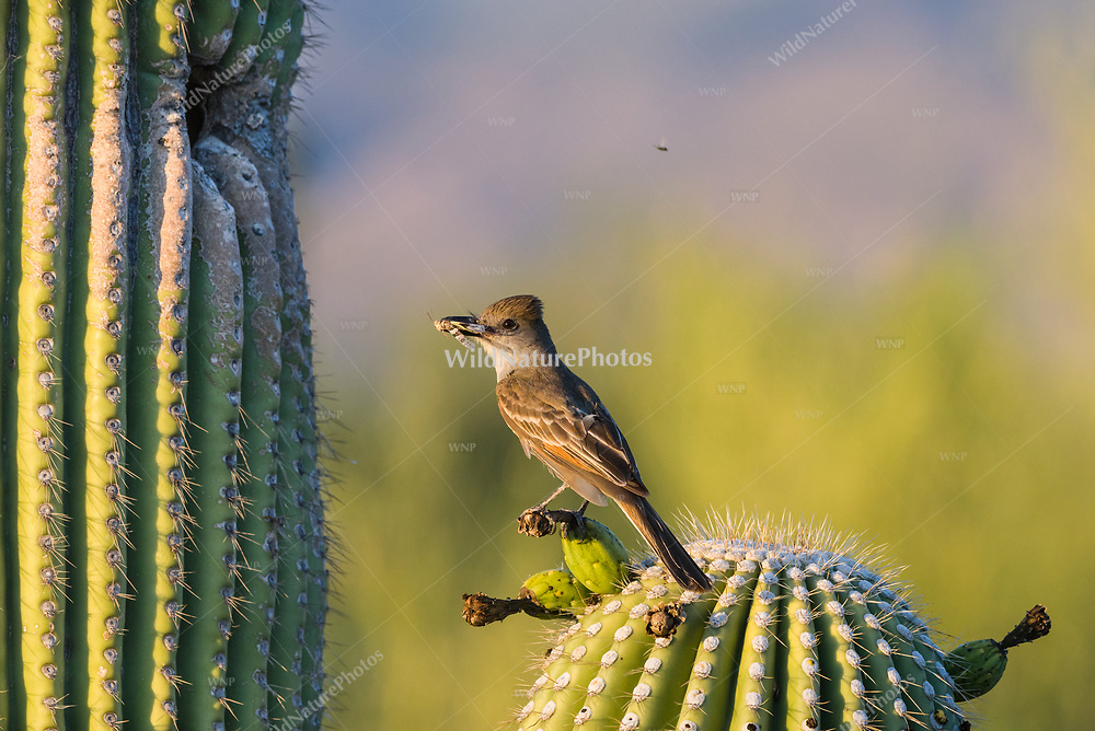 A Brown-crested Flycatcher (Myiarchus tyrannulus) perches before bringing an insect to its nest in a Saguaro  (Carnegiea gigantea). (Arizona)
