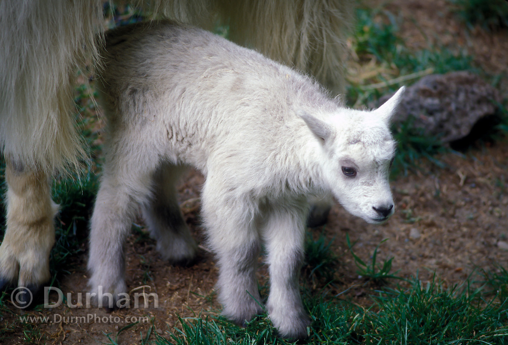 A mountain goat kid (Oremanos americanus), not more than two or three days old, stands under its mother's protection in Glacier National Park, Montana.
