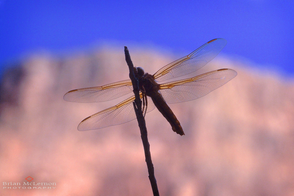 Dragonfly in front of Grand Canyon