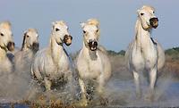 White Camargue horses running in lagoon, Camargue, France