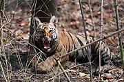 A four month old Bengal tiger cub snarling, Panthera tigris tigris, Bandhavgarh National Park, India.