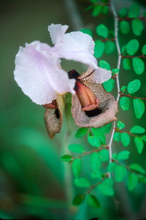 Wild iris (Iris iberica), Vaslovani Nationasl Park, The Country of Georgia