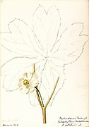 """Sketchbook 6 - Water-color sketches of plants of North America and Europe [graphic], Painted between June 1888 to September 1910 by Helen Sharp. Eighteen albums of water-color sketches by Helen Sharp of flowering plants and shrubs common to the United States, especially New England, as well as to Bermuda and parts of Europe, dated between June 1888 and Sept. 1910. Sketches in water-color and ink on paper (26 x 18 cm. or smaller) include botanical captions in Latin, along with Sharp""""s notes on the common name and physical characteristics of each plant, and location and date of drawing. There is also a table of contents at the front of each sketchbook. The first 16 albums contain sketches of plants common in New England, in towns of Massachusetts such as Nantucket, Taunton, Boston, No. Andover, Marblehead, Hingham, Gloucester; Maine (York, Sorrento); New Hampshire (Surrey), and Connecticut. Volume 17 contains sketches of plants made by the artist while traveling in Switzerland, Italy, England, and France, while v. 18 contains sketches of tropical fruits and flowers of Bermuda, completed during Sharp""""s visits of 1892, 1893, and 1903."""