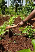 An African farmer harvests vegetables near the town of Jinja, Uganda.