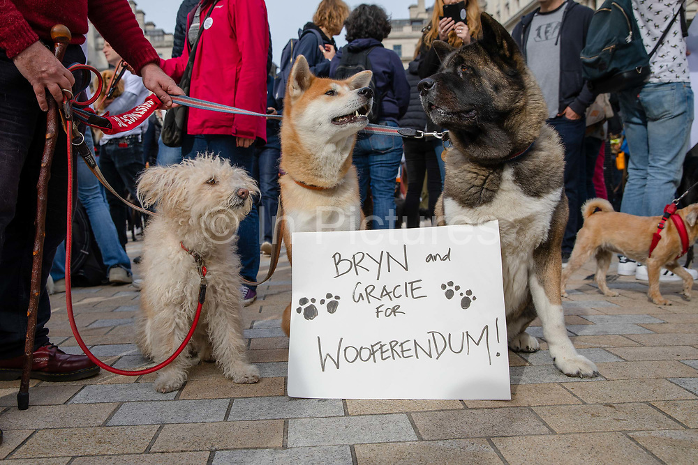 Three dogs with their owner sit in front of a Wooferendum placard as  they join pet owners to take part in an anti Brexit Wooferendum rally on October 07, 2018 in London, England to protest against Britain leaving the European Union.