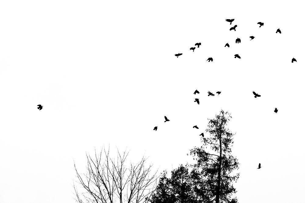 The fall of 2018 had seen extensive flocks of crows around my home consume corn, from the surrounding cornfields? As the season moved into October they slowly drifted south and these flocks were now found in a Peterborough Cemetery, I was walking through while waiting for my vehicle to have some work done in a local auto shop. The sky was cloudy, again adding to the hi key effect and the crows screaming flew off. What really caught my eye was the straggler trying to catch up to the flock, as well as the crow in the flock that was missing many feathers. The crows really stand out in the bright cloudy sky.