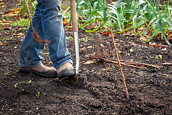 Planting bare rooted raspberry canes