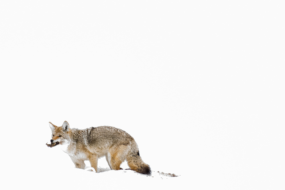 A coyote catches a vole in a snow covered meadow.