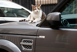 © Licensed to London News Pictures. 04/07/2017. London, UK. Downing Street cat Larry waits on ministerial car's bonnet whilst secretaries attenda a cabinet meeting in Downing Street, London on Tuesday, 4 July 2017.Photo credit: Tolga Akmen/LNP