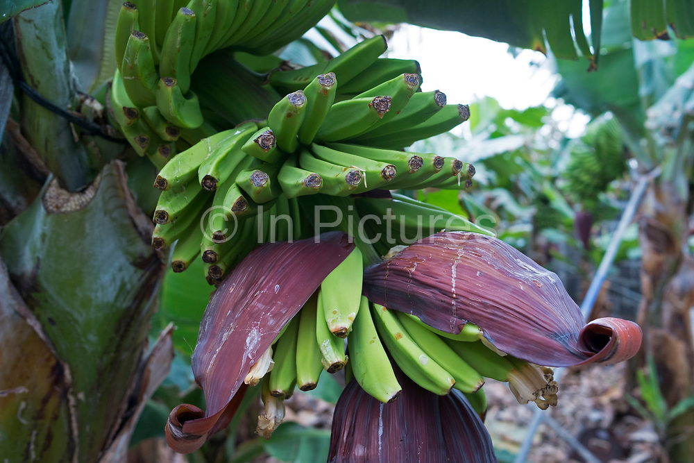 Bananas growing at a banana plantation in La Palma, Canary Islands, Spain. La Palma, also San Miguel de La Palma, is the most north-westerly Canary Island in Spain. La Palma has an area of 706km2 making it the fifth largest of the seven main Canary Islands. Banana production is very important to the economy of La Palma. The best areas are between sea level and 300 meters above sea level.<br /> Most bananas are grown by smallholders who sell their products to one of the co-operatives on the island, which then takes care of export. The main type of banana grown on La Palma is smaller and straighter than the Fyffes banana, but have a better texture and flavour.