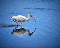 White Ibis. Black Point Wildlife Drive, Merritt Island National Wildlife Refuge. Image taken with a Nikon D800 camera and 400 mm f/2.8 lens (ISO 110, 400 mm, f/4, 1/1600 sec).
