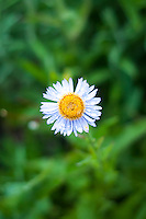 This small, compact member of the aster and daisy family is found at very high elevations in the mountains of Western North America, often near or at the snow line. They prefer wet meadows, and are often found growing in great profusion along with many other alpine/subalpine wildflowers during their brief, showy blooming period. This one was photographed on a  rainy late summer day within sight of Mount Rainier's incredible glaciers near the tree line.