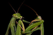 Sexual Cannibalism! Female Paying mantis Devours her partner<br /> <br /> imagine every time you made love to your partner you were dicing with imminent death. It might make<br /> you wary of having sex ever again (if you survived, that is!) yet male praying mantises can never be sure they will survive the sex act owing to their partners<br /> natural predatory instinct. Sexual cannibalism is a natural phenomenon whereby one organism (generally the female) eats the other (typically the Male) before, during or right after sex.<br /> this amazing sequence of photographers shows a female praying mantis eating her lover - starting with this shot of Mrs mantis munching on the Male's leg. Looks like a nice appetizer!<br /> ©Oliver Koemmerling/Exclusivepix
