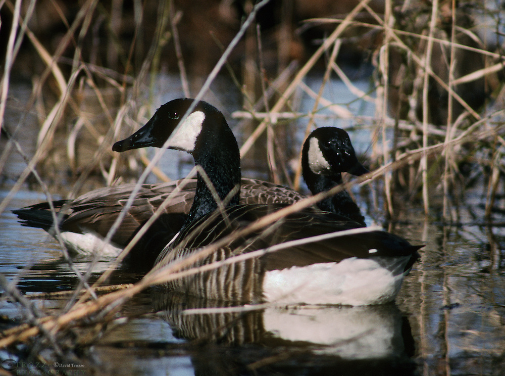 anatidae; animal; anseriformes; bay; biology; bird; branta canadensis; canada; goose; chesapeake bay; eastern shore; ecosystem; feathered; geese; gray; group; habitat; maryland; md; migration; migratory; nature; north america; ornithology; territory; waterfowl; wild; wildlife; winged; avian; behavior; birds; cold; color; colour; creek; dusk; ecology; environment; evening; eventide; eve; flocks; flock; fowl; journey; long; migrate; multiple; natural; only; river; scenery; scenic; seasonal; serene; serenity; tidal; tide; tranquility; tranquillity; tranquil; tributary; twilight; water; animals; backlit; blackwater; blue; cambridge; conservation; conserve; county; day; dorchester; grey; horizontal; marsh; migrating; motion; national; nobody; november; no people; october; ornithology; outdoors; passage; refuge; remote; social; south; speed; togetherness; together; usa; view; wings; wing; winter; yearly