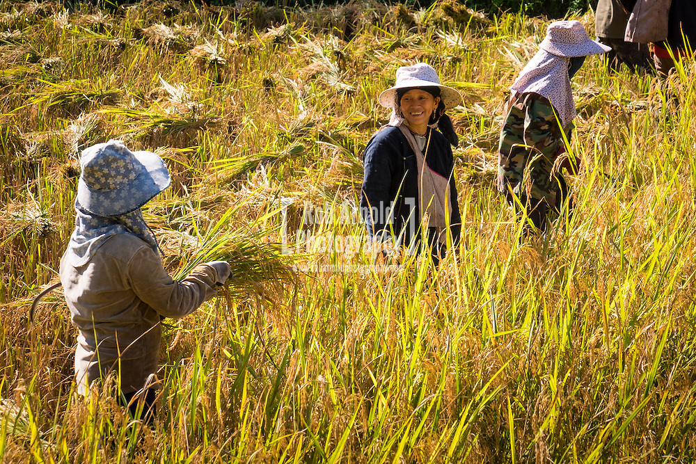 Women harvesting rice in a rice paddy outside of Luang Nam Tha, north west Laos.