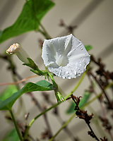 White vine (Morning Glory?) flowers after the rain. Image taken with a Leica SL2 camera and 70 mm f/2.8 macro lens