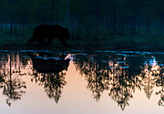 Brown bear at dusk. Eastern Finland in August 2015.