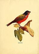 Nonpareil Red-Chested and black hooded Bird from Birds : illustrated by color photography : a monthly serial. Knowledge of Bird-life Vol 1 No 1 January 1897