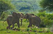 Adult elephants, males, sparring for dominance; Lake Manyara National Park, Tanzania
