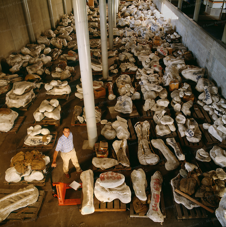 The Earth Sciences Museum's storage space having run out, Jim Jensen's legacy, over one hundred tons of unprepared material still wrapped in plaster jackets, lies in storage below the football stadium bleachers at Brigham Young University in Provo, Utah.   Pictured is the University paleontologist Wade Miller.