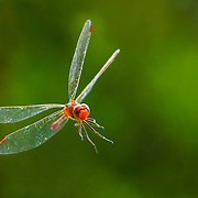 Dragonfly stuck in web, Brisbane, Australia (February 2003)