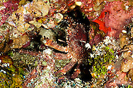 Channel clinging crab, Mithrax spinosissimus, (Lamarck, 1818), Grand Cayman