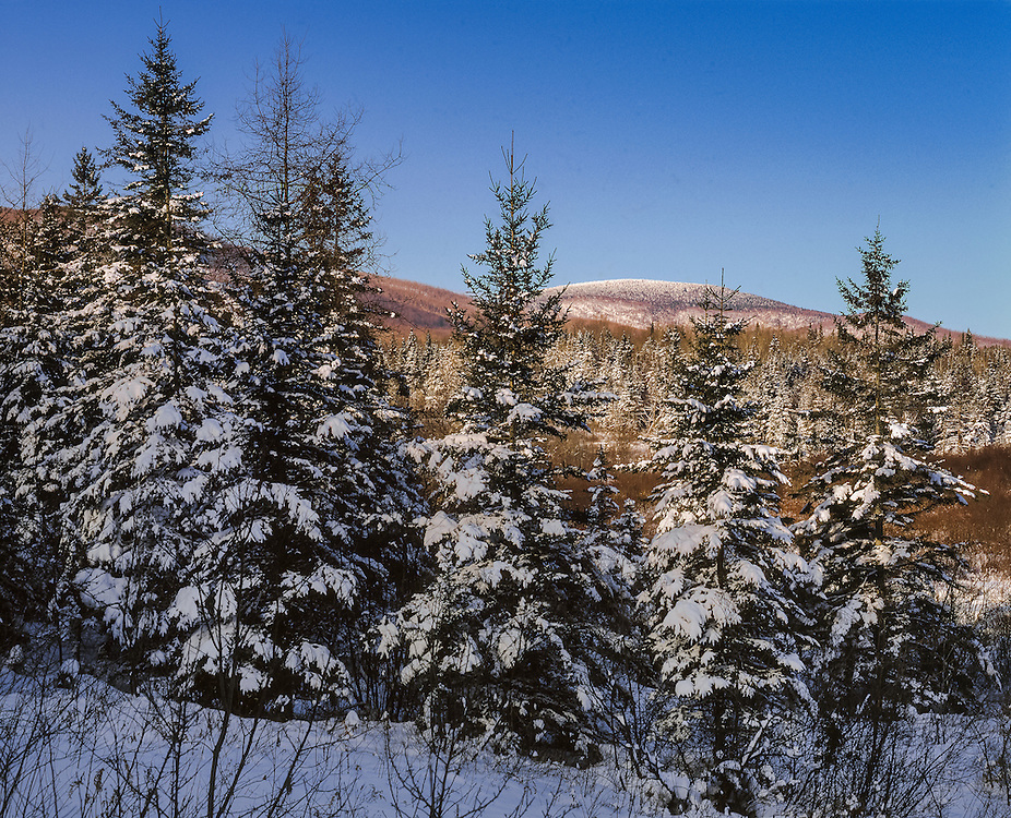 Snow covered spruce at edge of wetlands & Mt Butterfield at last light in winter, West Topsham, VT