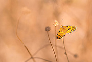 Lesser Spotted Fritillary (Melitaea trivia) Butterfly  shot in Israel, Summer August