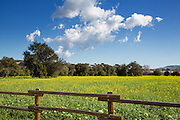 Yellow Mustard Field In San Juan Capistrano California