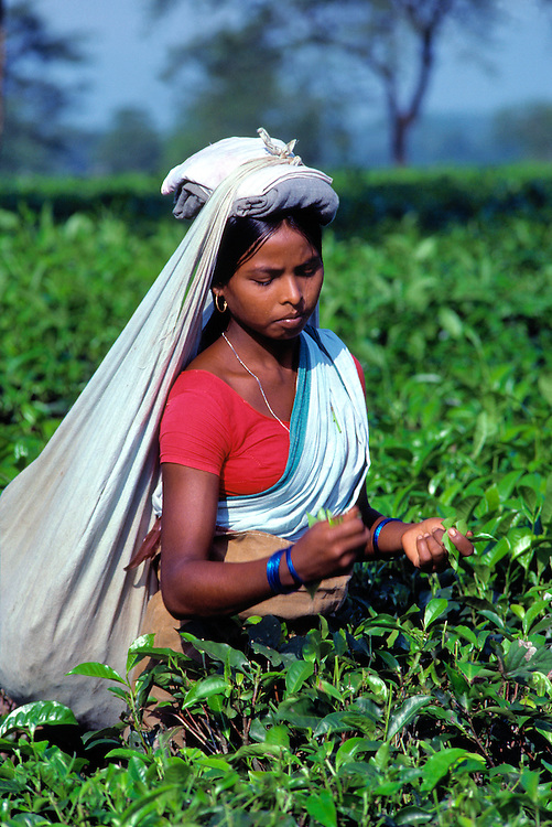 A young woman picks tea with both hands and supports a full bag of tea on a plantation near Darjeeling in northern India.