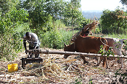 Farmer uses cattle to turn a mill that squeezes the juice from Sugarcane to make  Jagri.  SAHFA baseline survey visit to the MMS Angiya Clinic., Homa Bay County, Kenya.  SAHFA Kenya © April 2019
