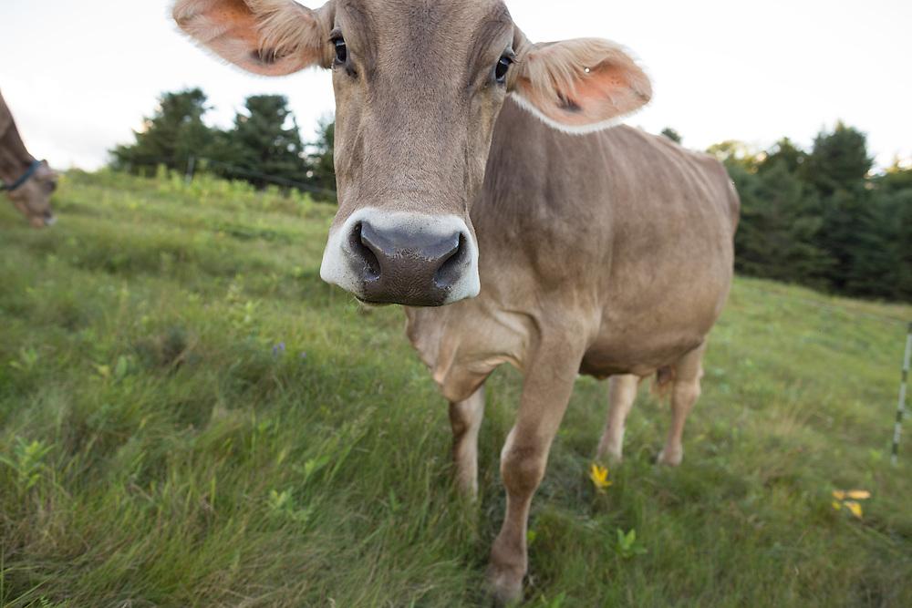 Brown Swiss Cow Portrait