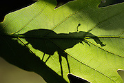 This stag beetle (Lucanus cervus) is living on oak trees. Biosphere Reserve 'Niedersächsische Elbtalaue' (Lower Saxonian Elbe Valley), Germany | Hirschkäfer Männchen (Lucanus cervus)