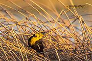 Yellow headed blackbird singing in reeds at Freezeout Lake WMA near Fairfield, Montana, USA