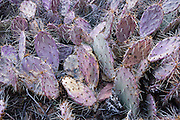 Green and purple-tinged prickly pear cactus / Opuntia genus forms a thorny pattern along Lower Calf Creek Falls trail, in Grand Staircase Escalante National Monument, Utah, USA.