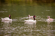 Black-necked Swan (Cygnus melancoryphus) Male and female swimming in water. Photographed in Tierra del Fuego, Argentina