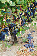 syrah green harvested vineyard domaine p gaillard rhone france