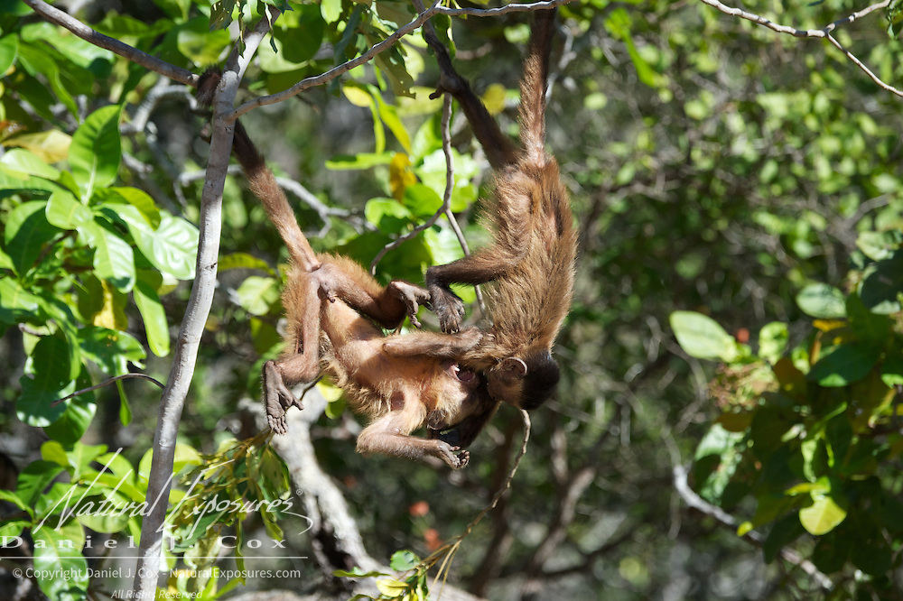 Tufted Capuchin, two youngsters playing in the trees, Parnaiba Headwaters National Park, Brazil.